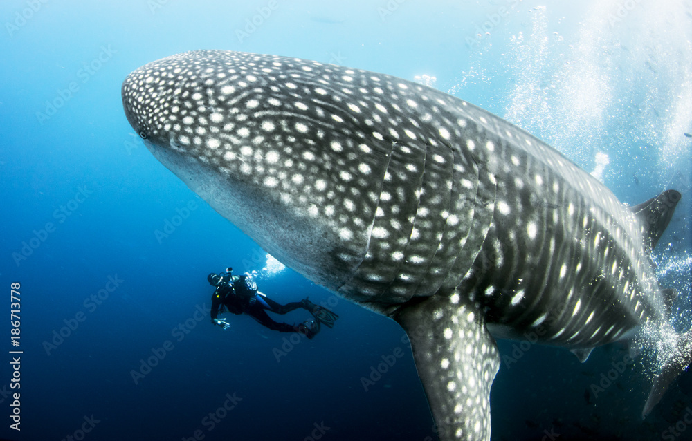 Fototapeta Giant Pregnant Female Whale Shark with scuba diver underwater from the Galapagos Islands (Darwin Island) in Ecuador