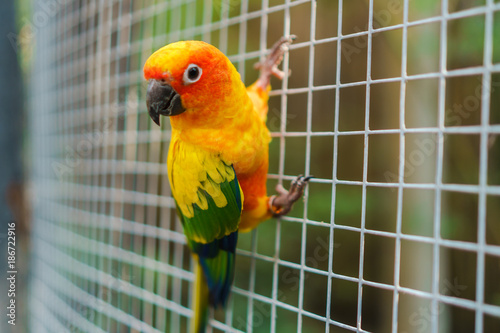 Beautiful colorful sun conure parrot birds on wire mesh
