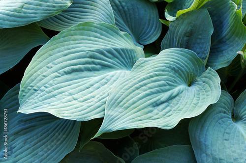 Fototapety, obrazy: Foliage of decorative plant Hosta (Funkia).