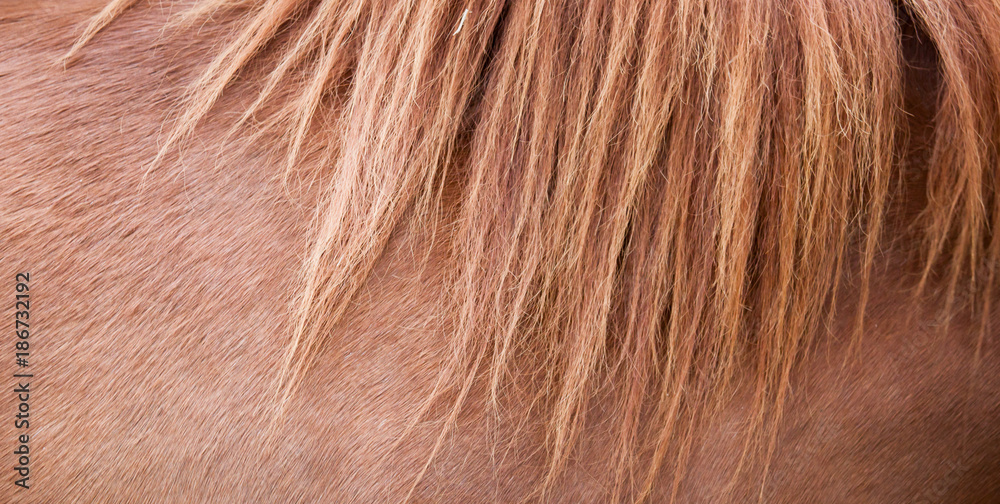 Fototapeta Horse mane and brown horse skin