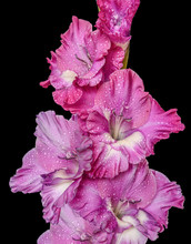 Beautiful Pink Gladiolus Flowe...