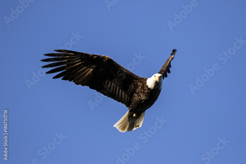 Bald eagle flying against clear blue sky