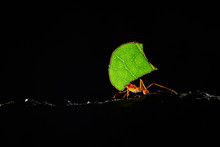 Atta Ants, Leafcutter Ants, Co...