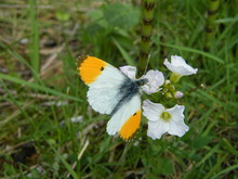 Male Orange Tip Butterfly Feed...