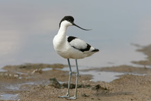 Young Pied Avocet (Recurvirostra Avosetta) Stands On The Shore Of The Lake And Looks Into The Camera. Differences From Young  Birds Are Clearly Visible