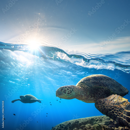 Poster Schildpad Sea Turtle in shallow blue water