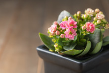 Beautiful Pink Kalanchoe Flower In Small Pot