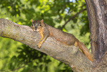 Fox Squirrel (Sciurus Nige) Resting In Shade On Tree Branch During A Hot Summer Day, Ames, Iowa, USA