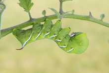 Tobacco Hornworm Moth Or Carol...