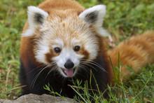 Red Panda (Ailurus Fulgens) Portrait, Captive.