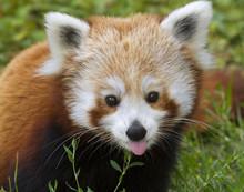 Red Panda (Ailurus Fulgens) Po...