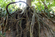 Tree With Twisted Roots.