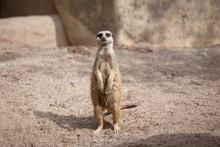 Meerkat (Suricata Suricatta) S...