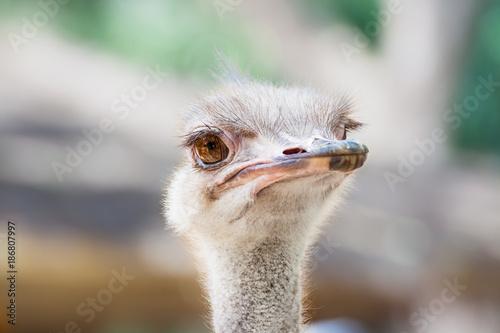 Keuken foto achterwand Struisvogel ostrich head as background, focus at eyes
