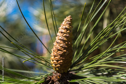 Fotografie, Obraz  Beautiful fir cone on a pine tree