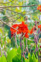 Radiant Canna Lily Blossom