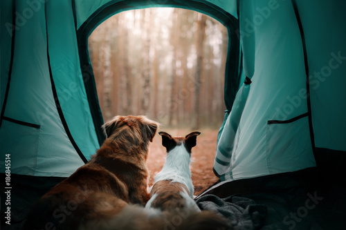 Fotobehang Kamperen Two dogs in the tent. Jack Russell Terrier and Nova Scotia duck tolling Retriever