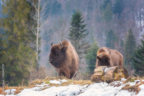 Valokuva  Aurochs (european bison) in the wild against the forest background, animal wildl