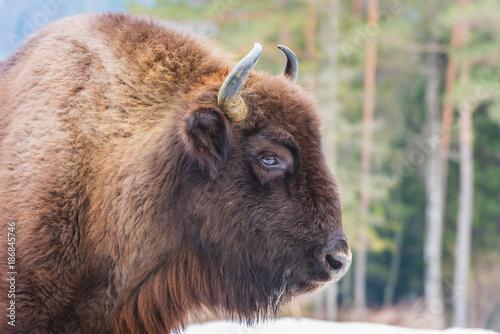 Fototapeta  Portrait of aurochs (european bison) in wildlife
