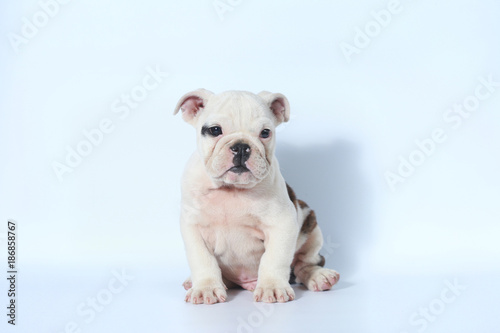 purebred English Bulldog puppy action on white screen - Buy