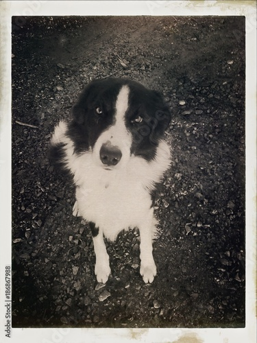 Amish dog looking up - Buy this stock photo and explore similar