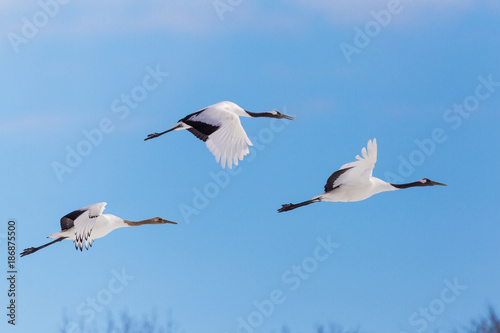 Photo  Japanese red head Tancho cranes flying and dancing in Kushiro, Hokkaido, Japan d
