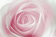 canvas print picture - macro de una rosa