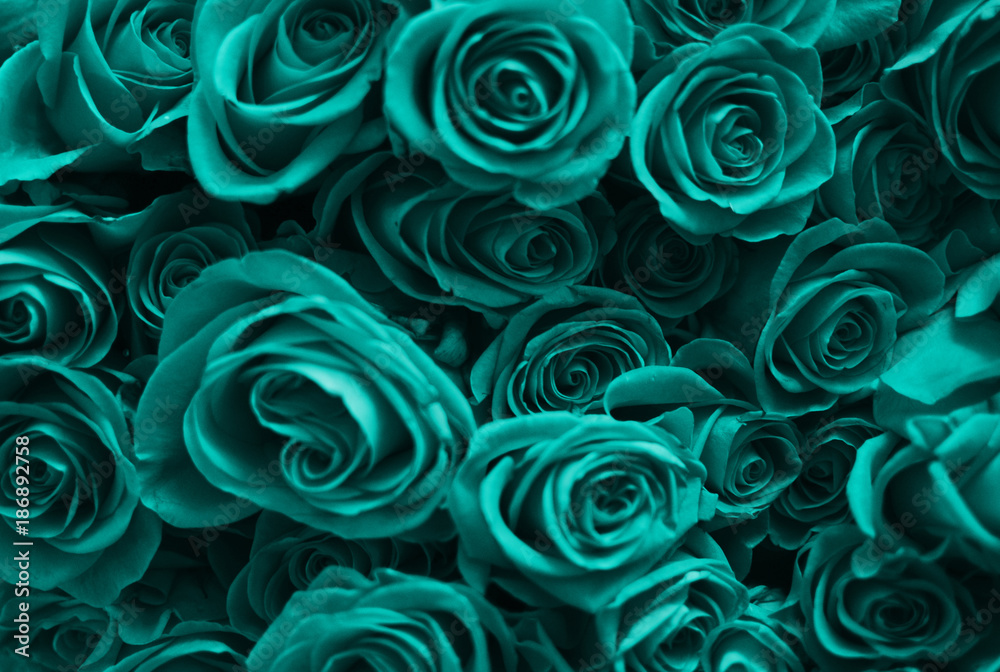 Fototapety, obrazy: Background of a set of turquoise roses. Valentine's Day.
