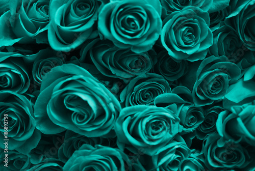 Background of a set of turquoise roses. Valentine's Day.