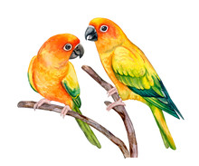 Sun Conure. Parrot Sun Parakeet Isolated On White Background. Yellow Colored Titsa. Illustration. Watercolor. Template