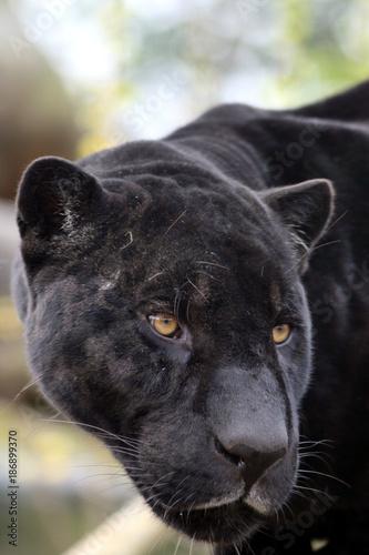 In de dag Panter Portrait de jaguar noir