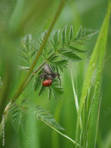 Obraz na plátně Araignée grise mangeant une coccinelle rouge à points noirs sur une feuille d'he