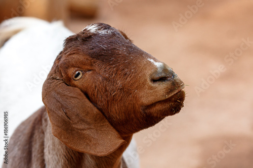 Goat Closeup With Copy Space - Buy this stock photo and explore