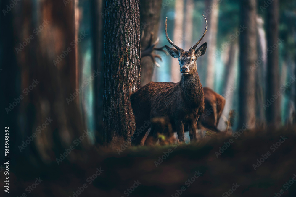 Red deer with pointed antlers in autumn pine forest.