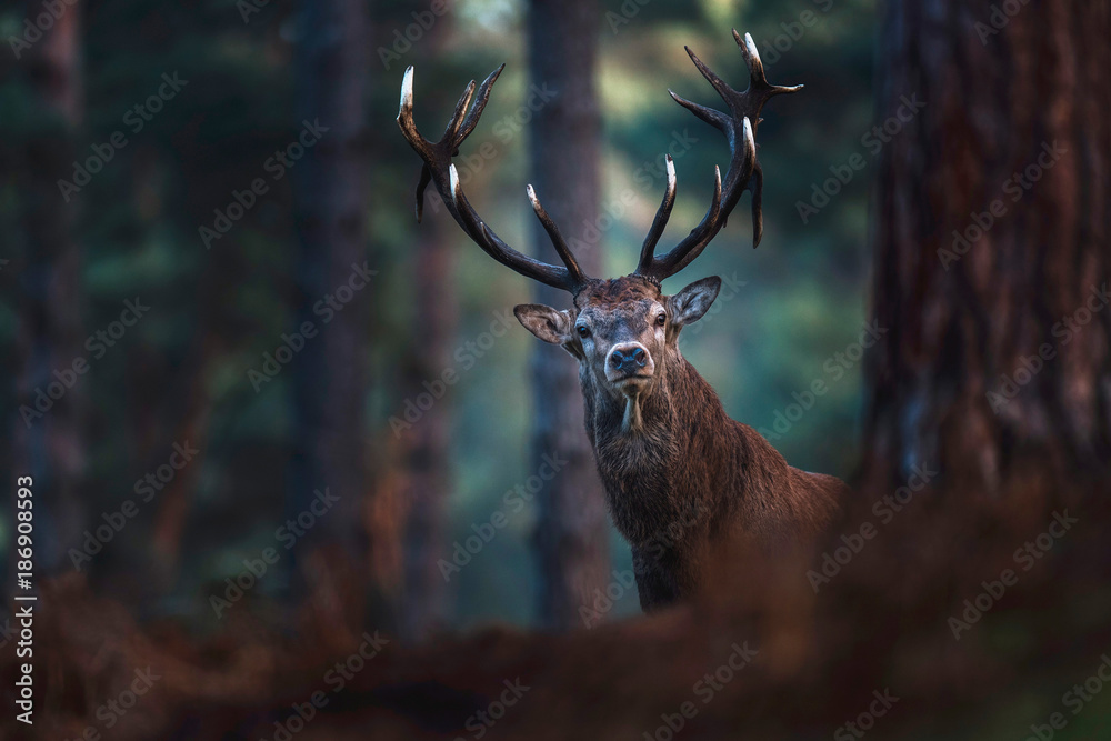 Red deer with big antlers looking curious towards camera.