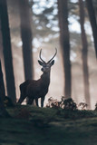 Red deer stag with pointed antlers standing on hill of misty forest. - 186908502