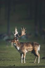 Fallow Deer Buck (dama Dama) In Sunlight On Forest Meadow.