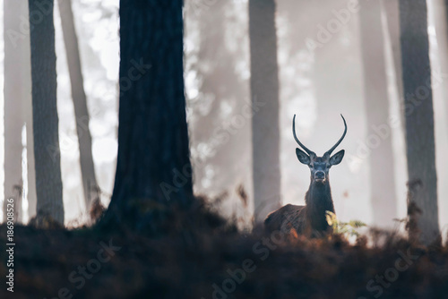 Foto op Canvas Bleke violet Red deer stag with pointed antlers looking over ferns in misty autumn forest.