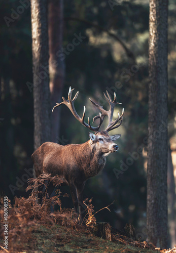 Red deer stag (cervus elaphus) in autumn pine forest.