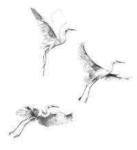 White Flying Storks  Watercolor Sketch