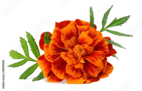 Photo Orange Marigold flower, Tagetes erecta, Mexican marigold, Aztec marigold, Africa