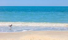 Bird, Willet, Alone On The Beach, Sanibel Island, Florida, USA