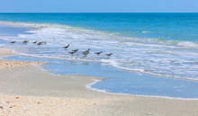 Birds, Willets, On The Beach Of Sanibel Island, Florida, USA