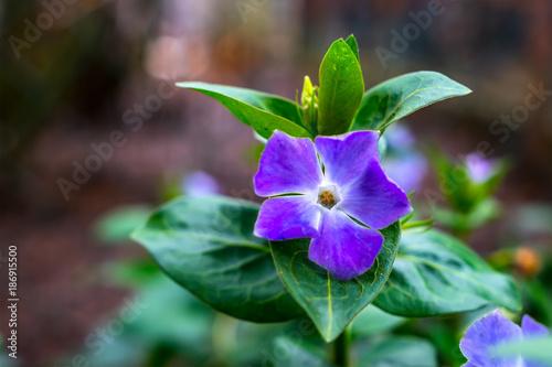 Fotografie, Obraz  Lila Bluete auf Blume Beet
