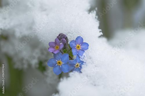 Vergissmeinnicht Im Schnee Fruhlingsblumen Im Winter Buy This