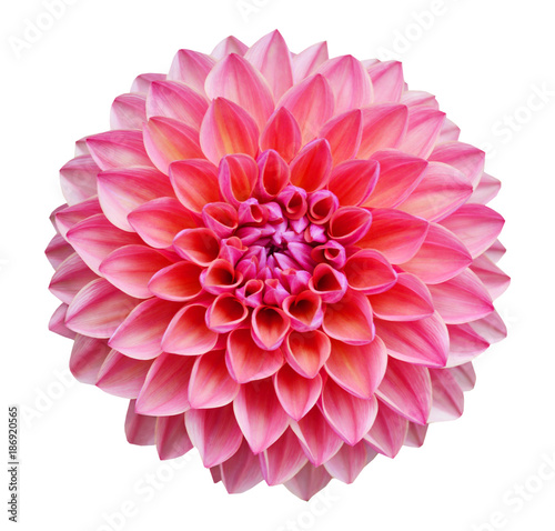 Leinwand Poster Pink dahlia isolated on white background
