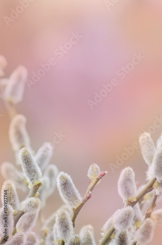 Spring willow on a pastel abstract background