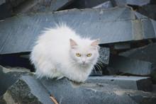 A White Fluffy Street Cat