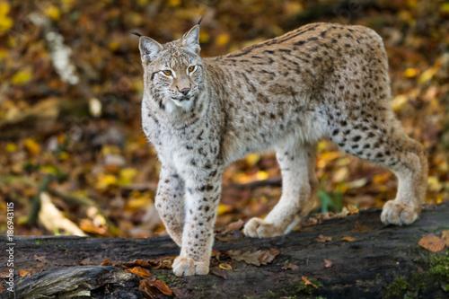 Spoed Foto op Canvas Lynx Lynx