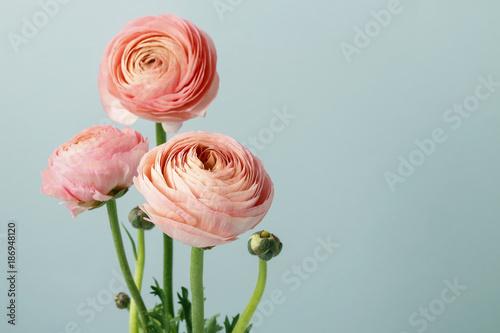 Pink ranunculus flowers Fototapeta